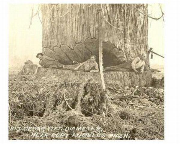 Огромные деревья (39 фото)