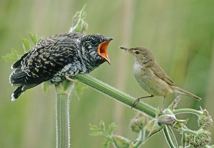 Маленькая птичка кормит птенца кукушки, яйцо которого...