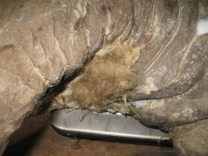 Мамонтенок, найденный на Ямале (9 фото)