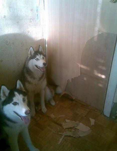 Хаски - хорошие друзья, но не для вашей квартиры (140 фото)