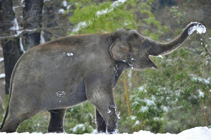 Слоны играют со снегом в зоопарке Берлина (14 фото)