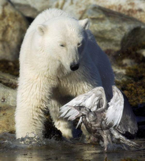 Медведь против чайки (9 фото)