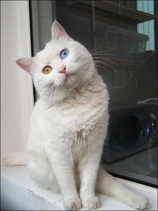 Кот с разным цветом глаз (7 фото)