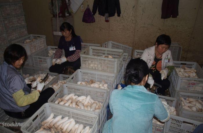 Как выращивают китайские грибы (13 фото)