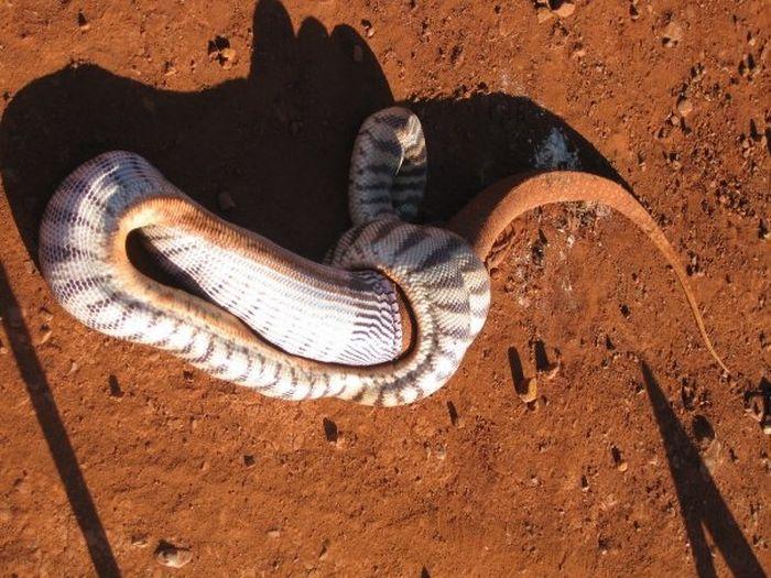 Змея съела большую ящерицу (15 фото)