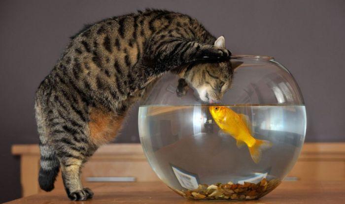 Кошка и золотая рыбка (4 фото)