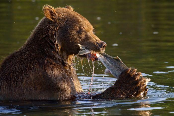 Медвежья рыбалка (16 фото)