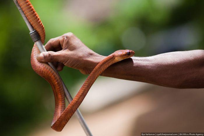 Укротитель змей из Шри-Ланки (27 фото)