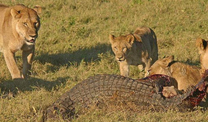 Три львицы против крокодила (9 фото)