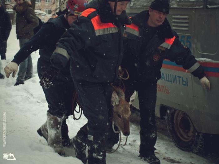 Олененок на улицах Ярославля (43 фото)