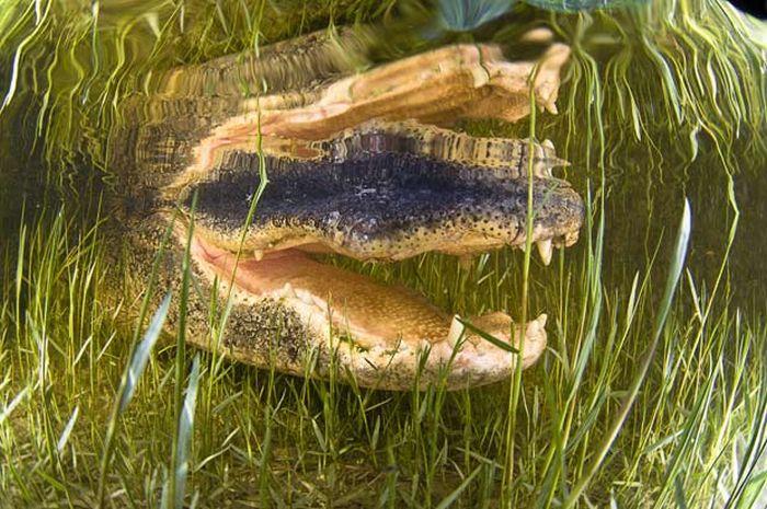 Опасные снимки американского аллигатора (10 фото)
