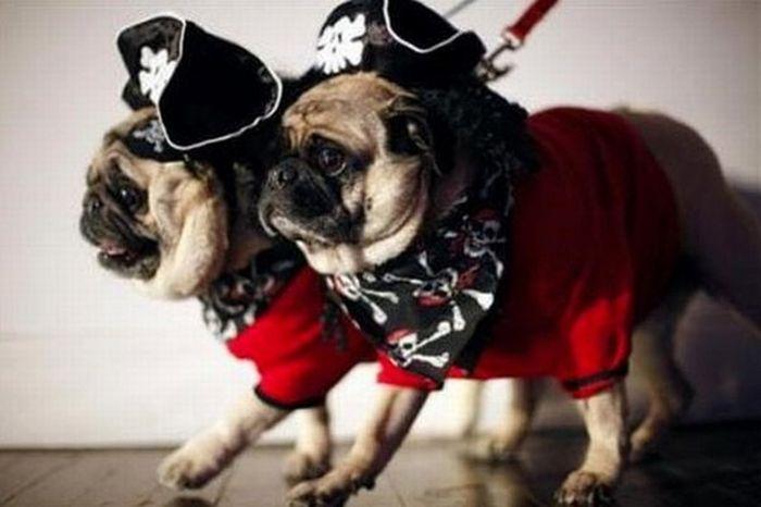 Мопсы-пираты (24 фото)