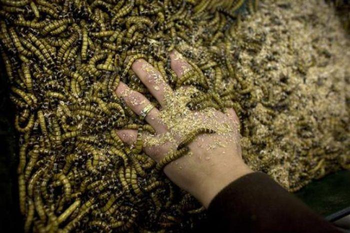 Сладости из червяков (18 фото)