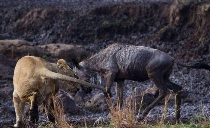 Отважный зверь (5 фото)