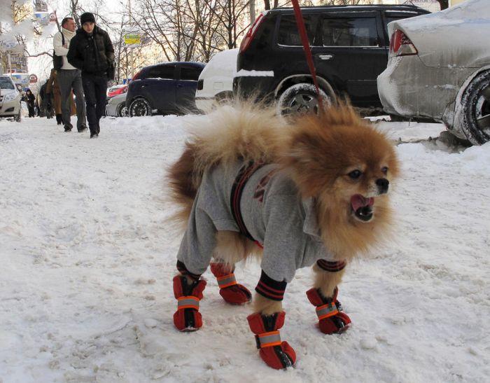Собаки в прикольных нарядах (38 фото)
