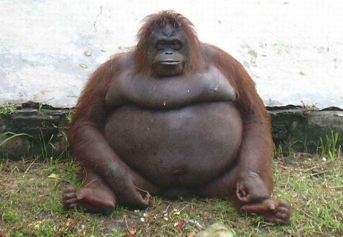 Животные, страдающие ожирением (100 фото)