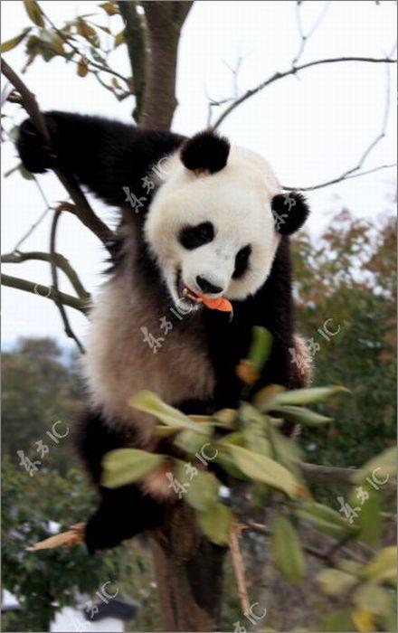 Панда радуется снегу (30 фото)
