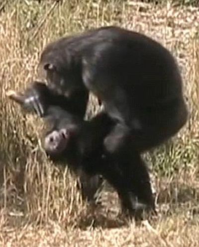 Шимпанзе оплакивает свое дитя (4 фото + видео)