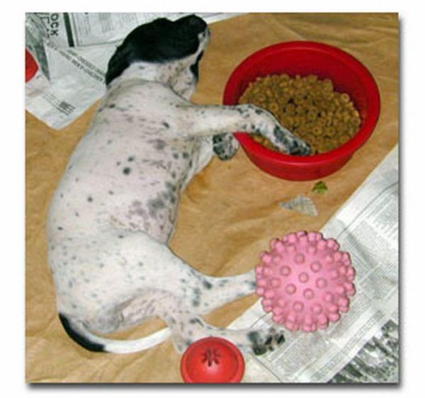 Собаки, заснувшие во время еды (23 фото)