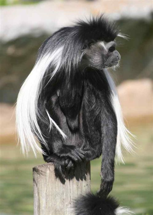 Черно-белые гверецы (14 фото)