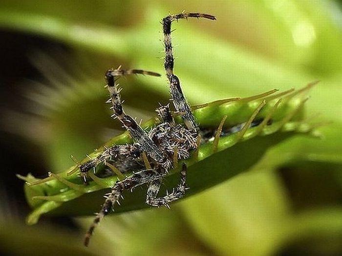 растение насекомых ловит