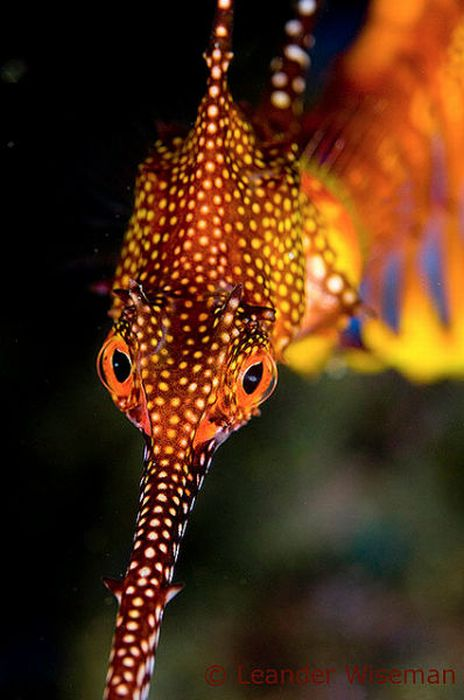 Лиственные морские драконы (44 фото)