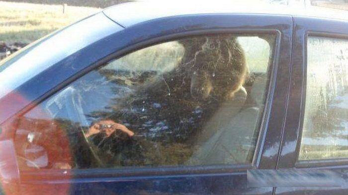 Медведь устроился в машине (3 фото)