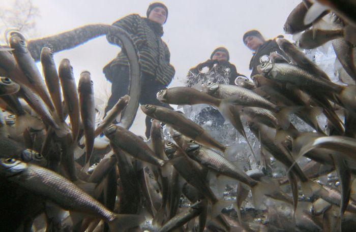 Рыба задыхается в прудах Питера (10 фото)