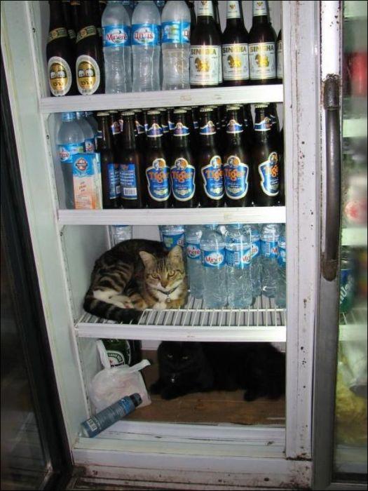 Коты спасаются от жары (10 фото)