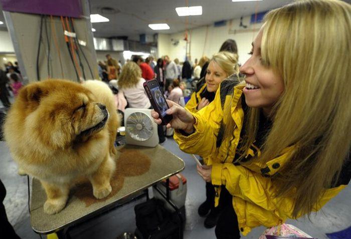 Как готовят собак к шоу (30 фото)