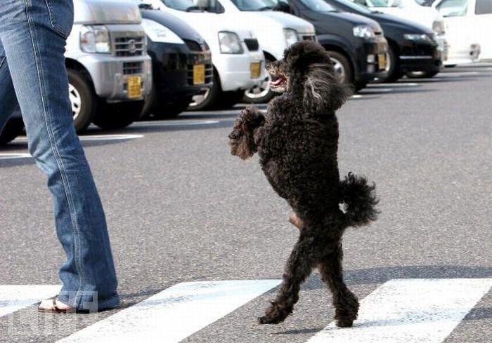 Собаки, которые ходят на двух лапах (20 фото)
