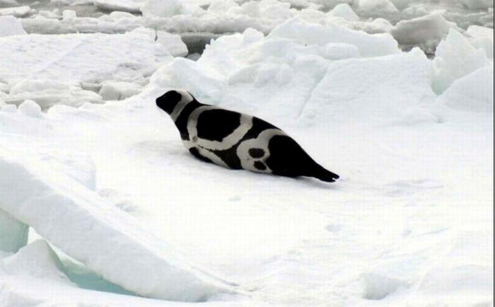 Полосатые тюлени (6 фото)