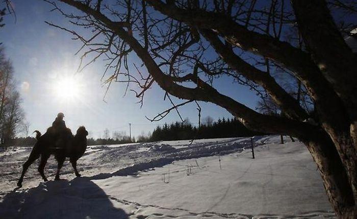 Верблюды в снежной Норвегии (12 фото)