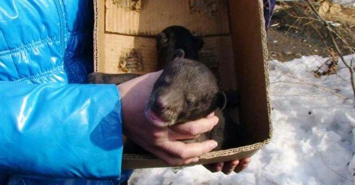 Гималайские мишки (8 фото)