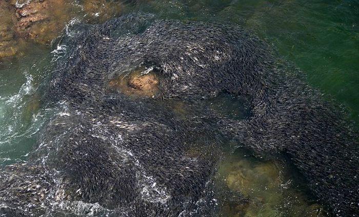 Рыба заполонила берега Мексики (6 фото)