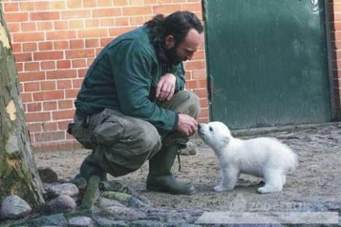 Белый медведь Кнут. Жизнь и смерть (32 фото + видео)