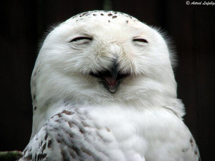 Совы смеются (35 фото)