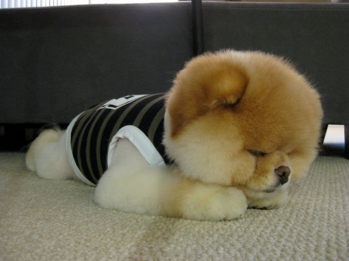 Бу. Собака, которая всем нравится (50 фото)