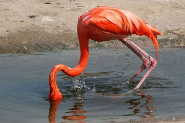 Фламинго упал (2 фото)