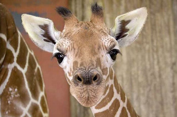 Детеныши жирафов (40 фото)