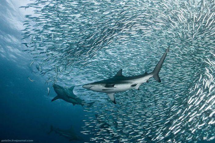 Сардины против охотников (18 фото)