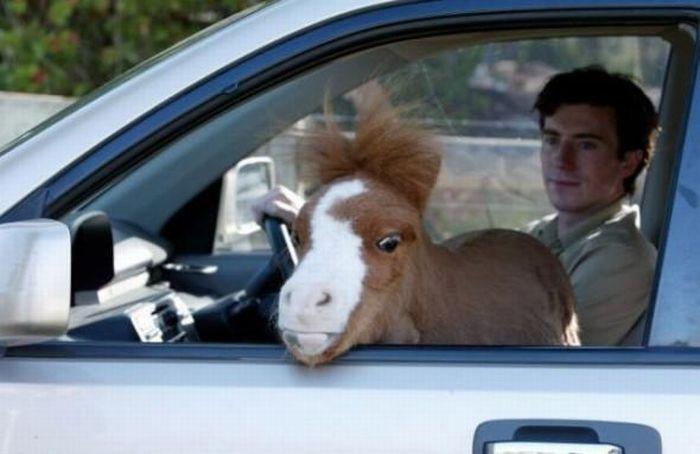 Очаровательная карликовая лошадь koda
