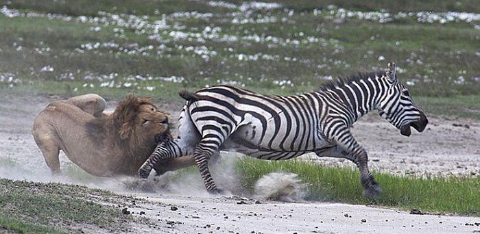 Зебра против льва (4 фото)