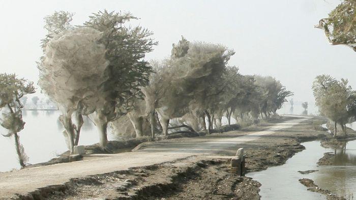 Нашествие пауков в Пакистане (8 фото)
