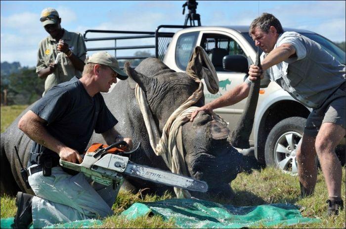 Как спасают носорогов (4 фото)
