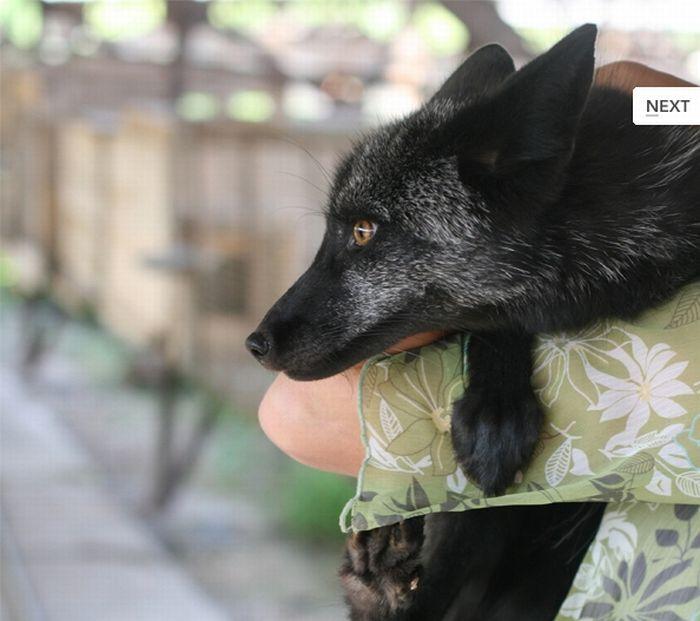 Приручение диких лисиц (9 фото)
