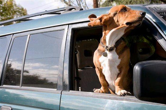 Смешные собаки на скорости 80 км/ч (50 фото)