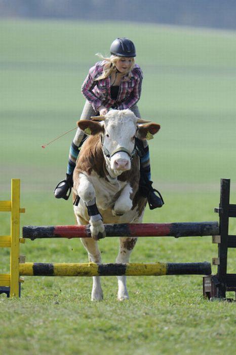 Девушка приучила корову к верховой езде (10 фото)