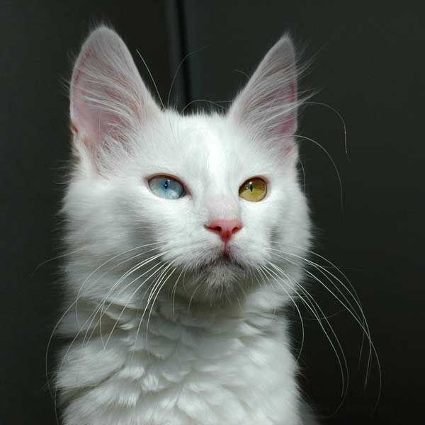 ...в глазах ангорской кошки.