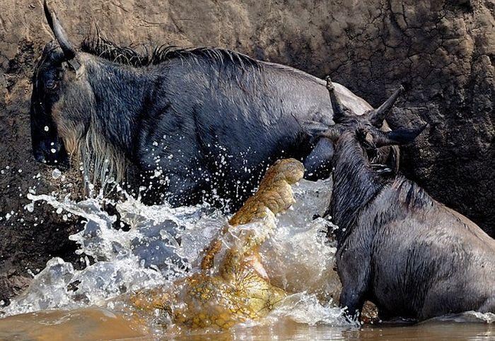 Антилопа против крокодила (5 фото)